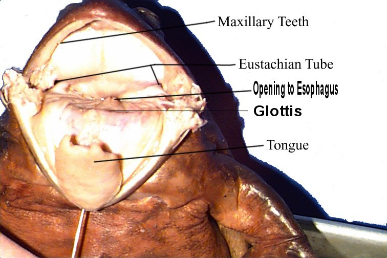 Penn State Altoona - Frog Dissection for Biology 110 - Mouth Anatomy